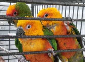 Conures.cropped