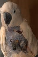 examples of Cockatoo skin mutilation are easy to find.